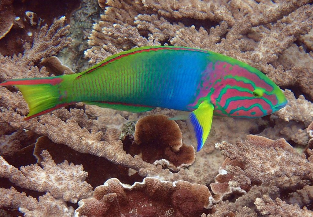 With her underwater camera, Susan was able to capture the beauty of Norfolk Island's marine life like this striking Green Moon Wrasse, Thalassoma lutescens. Image courtesy of Susan Prior.