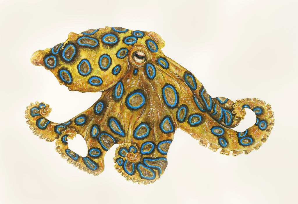 While we should never reach reach out to pet a Southern Blue-ringed Octopus, we can admire the gifts that the slow process of evolution has granted them. Illustration by Sami Bayly.