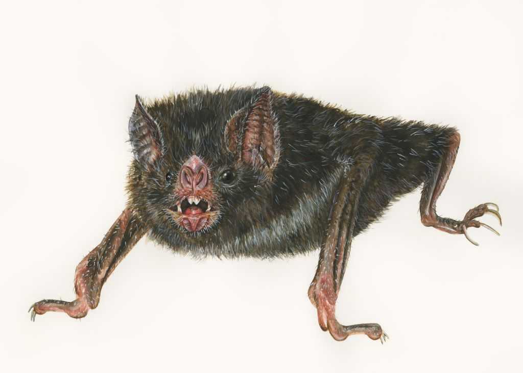 Sami uses watercolours to bring her deadly creatures like this vampire bat ,to life on the page. Illustration by Sami Bayly.