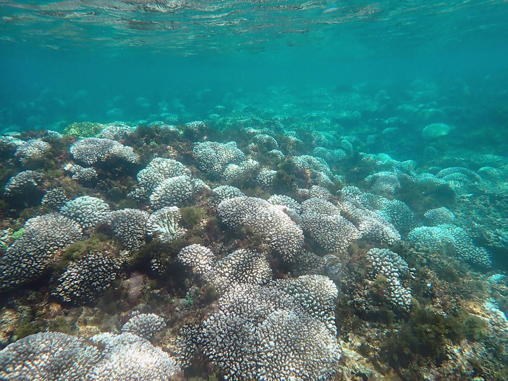 An example of coral bleaching on Norfolk Island. Image courtesy of Susan Prior.