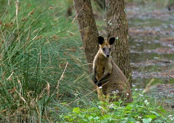 Swamp Wallabies: 3 BIG ecological impacts of a small marsupial